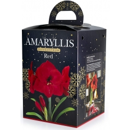 Red Amaryllis Bulb Set