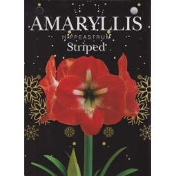 Striped Amaryllis Bulb Set