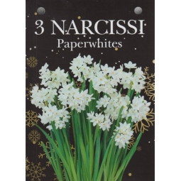 Gift Box Of 3 Narcissi Paperwhites 13/15cm Growing Gift With Bulbs & Compost